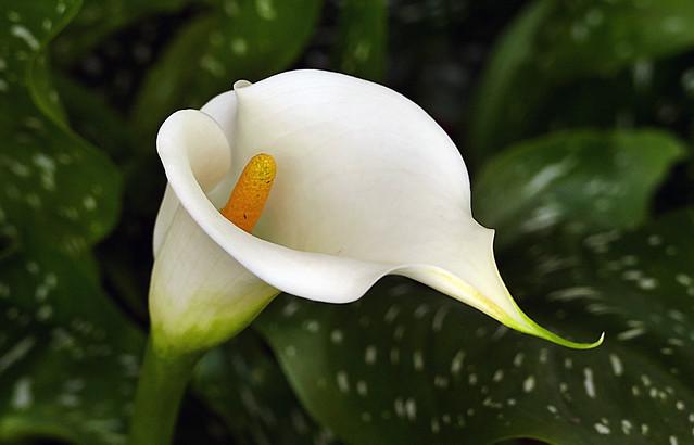 Arum lily (Zantedeschia aethiopica)