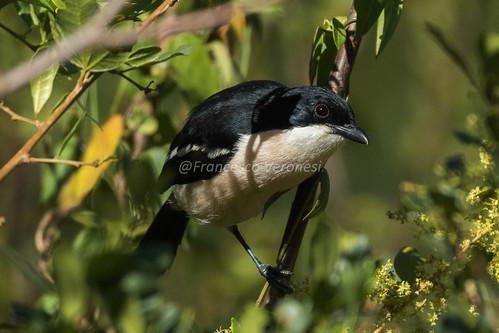 176bushshrikesandallies birds riftvalley kenya africa tropicalboubou