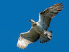 Eastern Osprey (Pandion cristatus) by David Cook Wildlife Photography