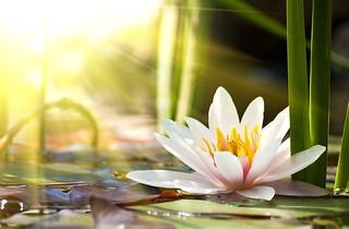 lotus flower | by healthpress.co