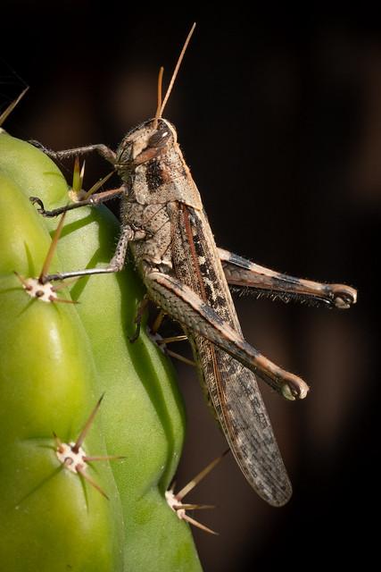 Locust 8559