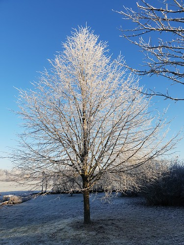 Linden with rime | by nikkorglass