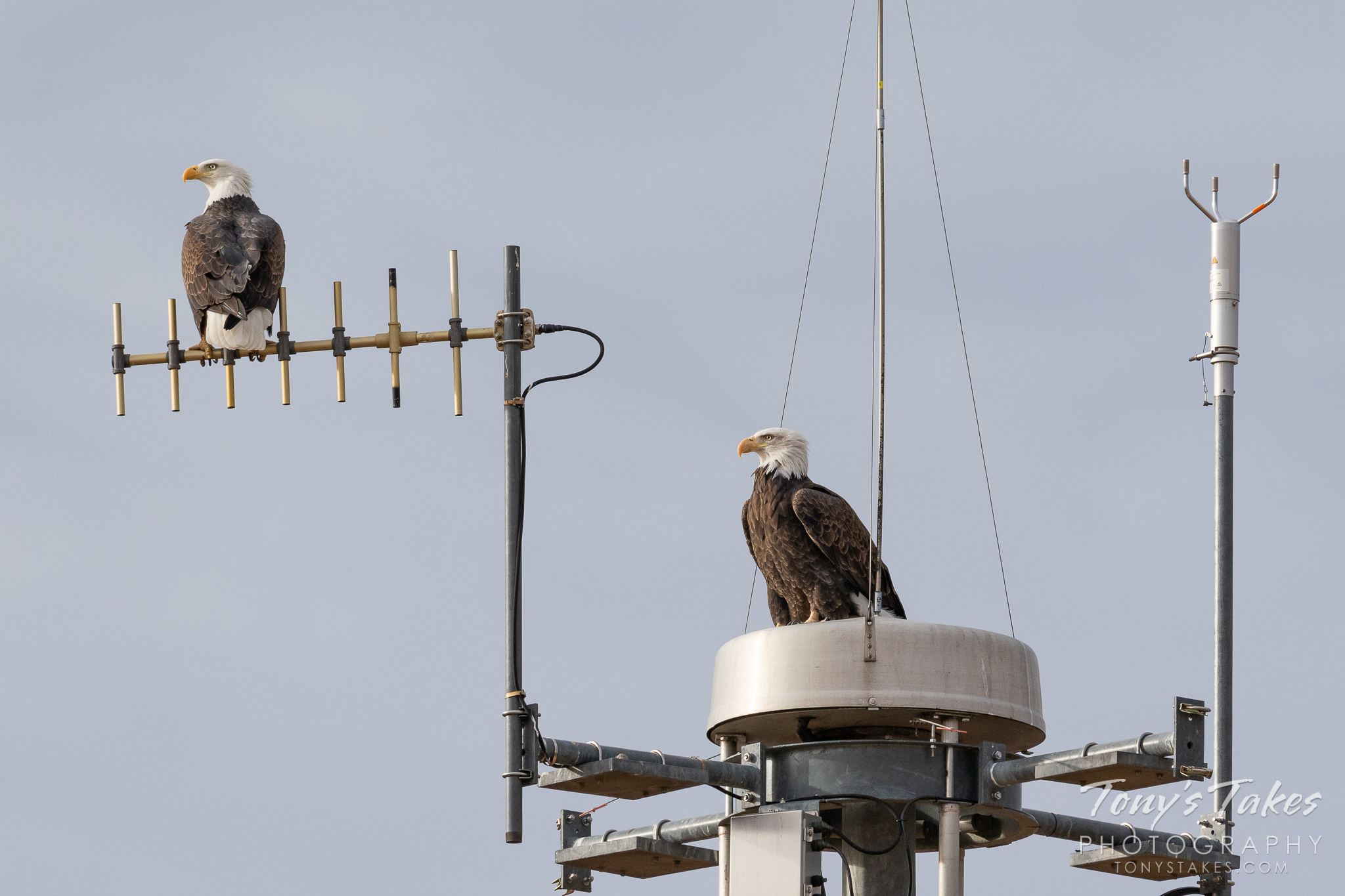 Bald Eagle pair keeping watch on air traffic
