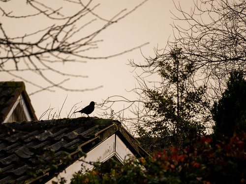 Blackbird Call | by Cagey75