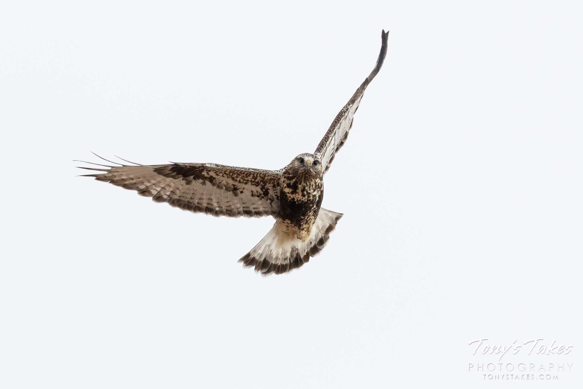 Rough-legged Hawk head on