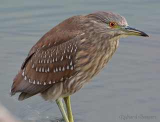 Black-crowned Night-Heron   by Alameda Point Enviro