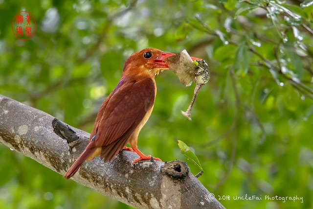 Ruddy Kingfisher (Halcyon coromanda 赤翡翠)