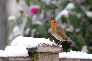 Robin in the snow | by Mike.Pursey