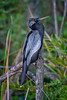 Male Anhinga in breeding plumage at Shark Valley, Everglades National Park, Florida, Shark River Slough by diana_robinson