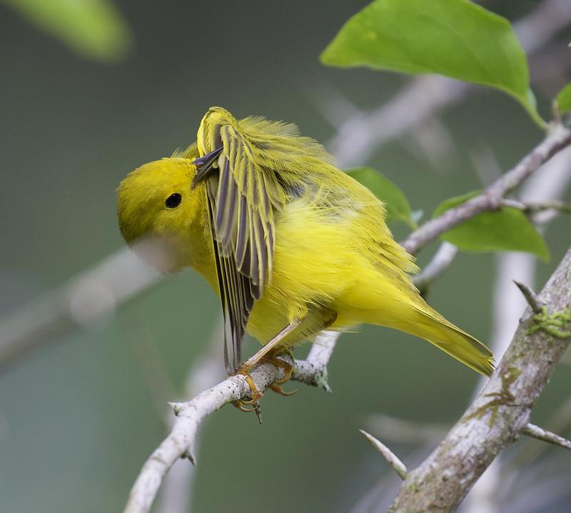 Yellow Warbler, Setophaga petechia Ascanio_Panama 199A8863