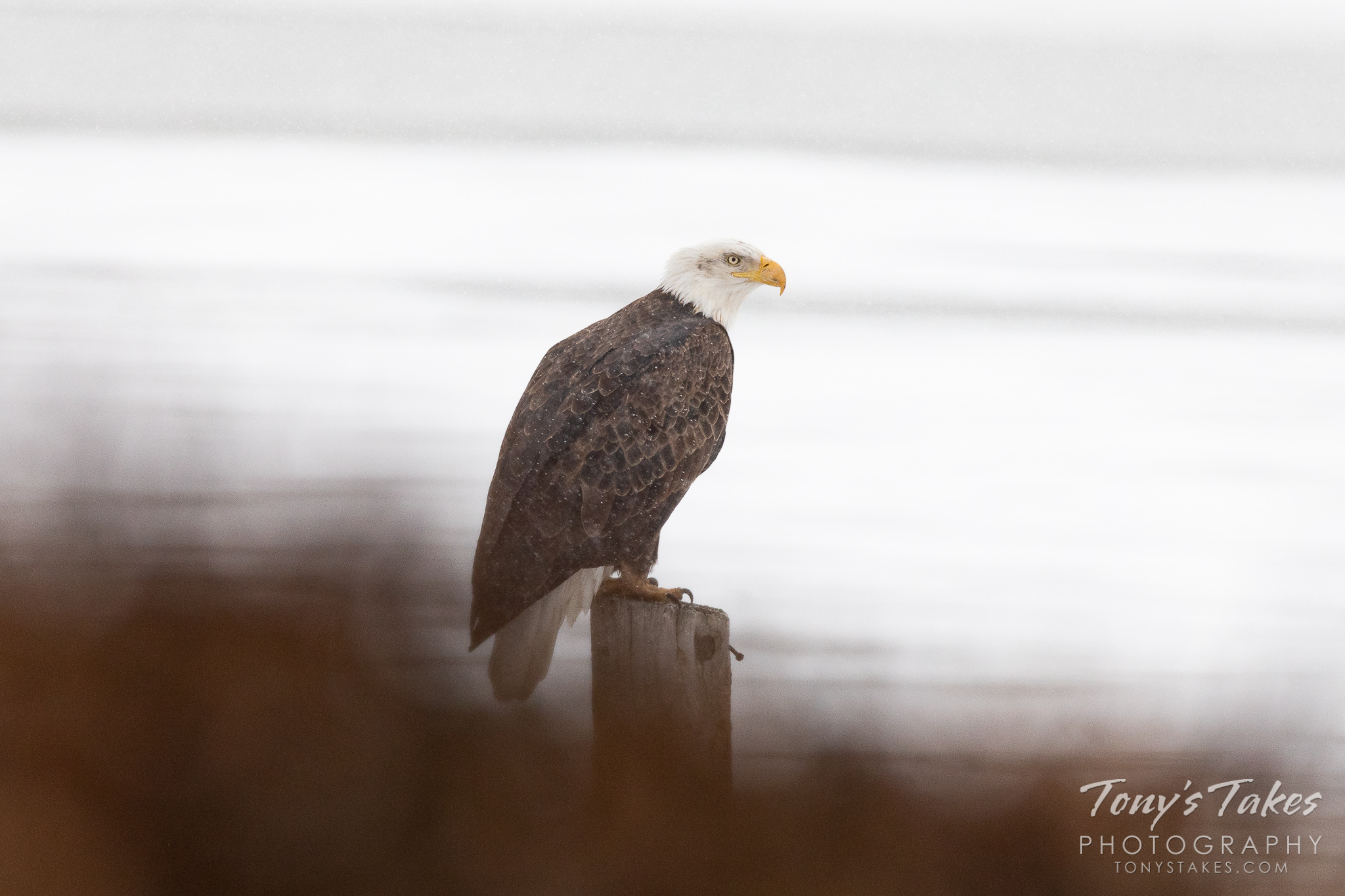 Bald Eagle weathers a New Year's Eve storm