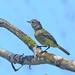 Yellow-crowned tyrannulet - Tyranneau roitelet - Mosquerito Coronado - Tyrannulus elatus