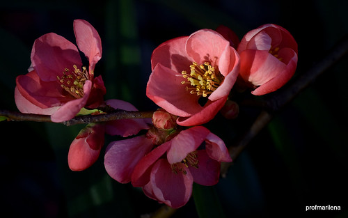 DSC_0988-001 pink cydonia in my garden