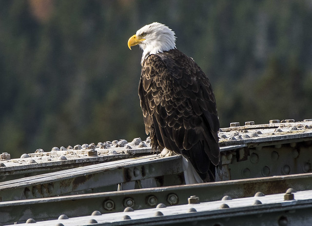 Eagle, Déja Vu on the Bridge