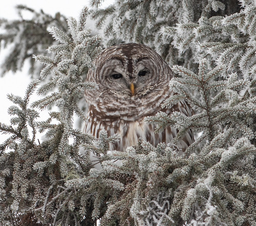 Barred Owl roosting