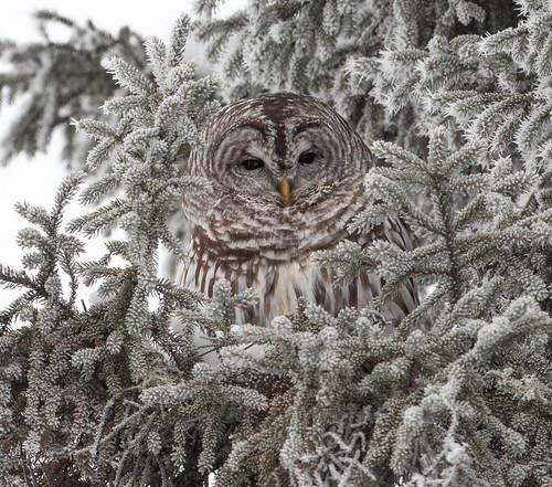 Barred Owl roosting
