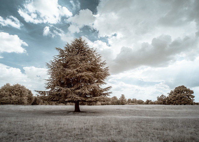 Clouded Tree (Adventures in Infrared)