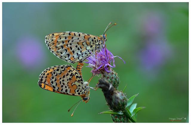 Melitaea  didyma  Nymphalidae