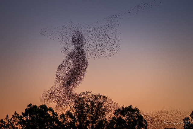 Perching Bird: Murmuration of Starlings