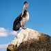 Flickr photo 'Pelican Perch on Top of the Jetty' by: Phil's 1stPix.