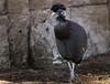 Crested Guineafowl by Sheldrickfalls