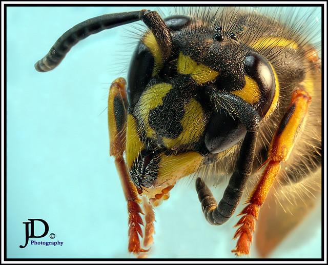 Common Yellowjacket- Vespula alascensis portrait-1