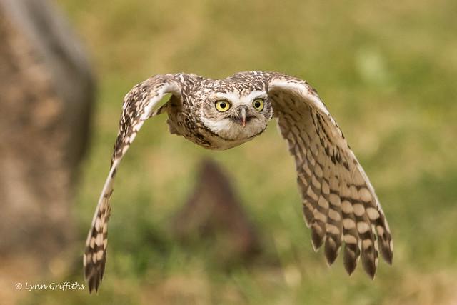 Burrowing Owl 501_2672.jpg