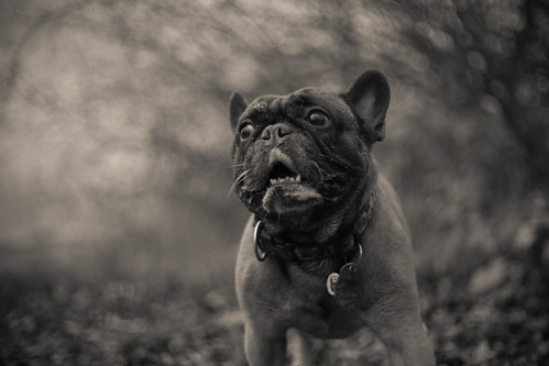 french bulldog from hell