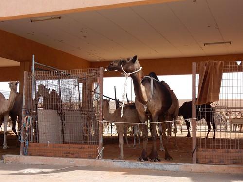 Al Ain - Camel Market - 2
