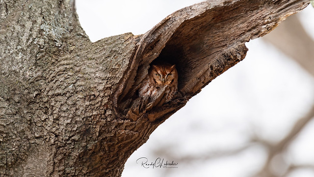 Eastern Screech Owl - Megascops asio   2019 - 1