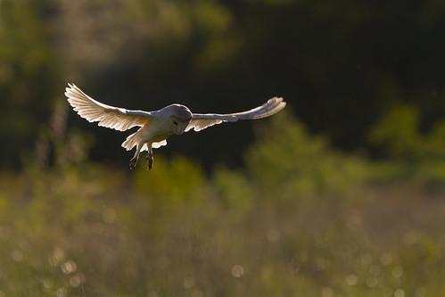 Barn Owl (Tyto alba) | by Wildlife Photography by Matt Latham