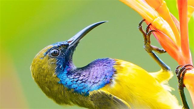 Olive Sunbird: Male