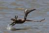 Take off! Brown pelican (Pelecanus occidentalis) by Ron Winkler nature