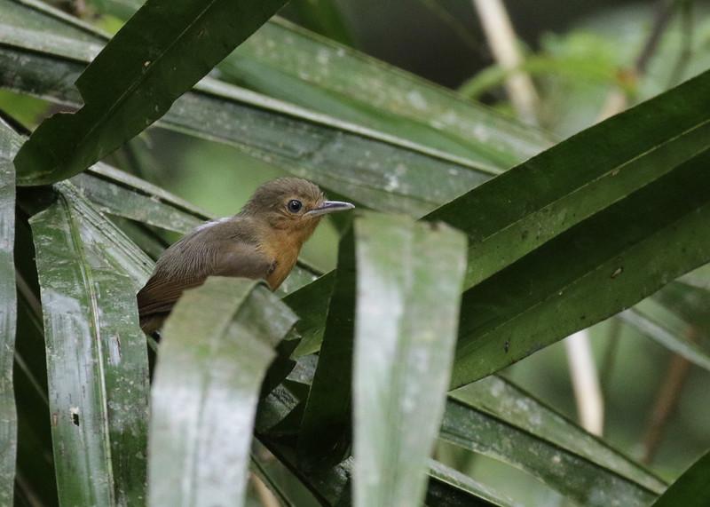 Dusky Antbird, Cercomacroides tyrannina Ascanio_PAnama 199A7838