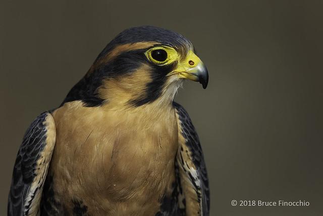 A Head and Shoulders Portrait Of Aplomano Falcon