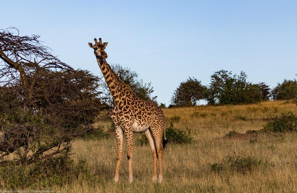 Girafe_septembrie 02_Maasai Mara_gradina