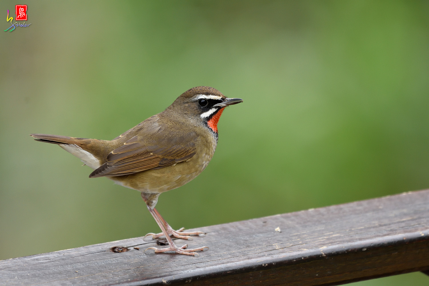 Rubythroat_8393