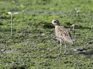 Pacific Golden-Plover | by nickathanas