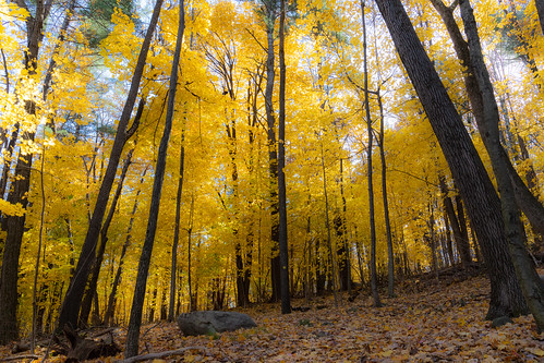 leominsterma yellow autumn freedom nature walkinthewoods canon6dmarkii landscape