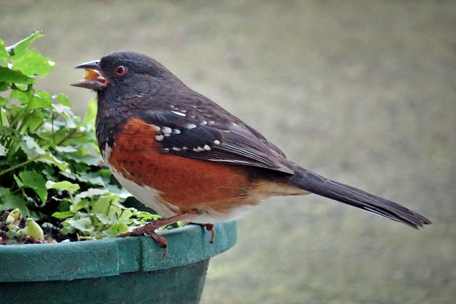 Morning coffee towhee