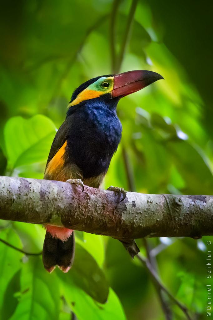 Pichilingo Aserrador. Gold-collared Toucanet, Red-billed Toucanet. Selenidera reinwardtii)