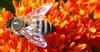 Bee on butterflyweed1 sooc by Martin LaBar