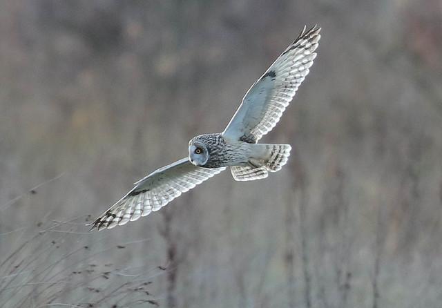 Short Eared Owl Asio flammeus 040-1