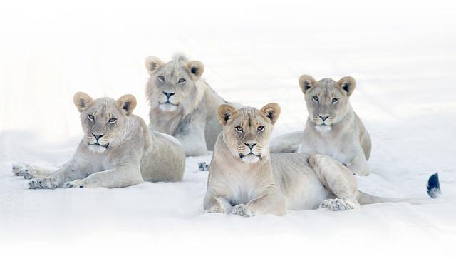 Lion teenagers