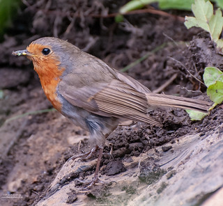 Robin | by Life and Culture Photography
