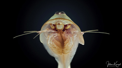 "Triops australiensis ""Queensland"" 