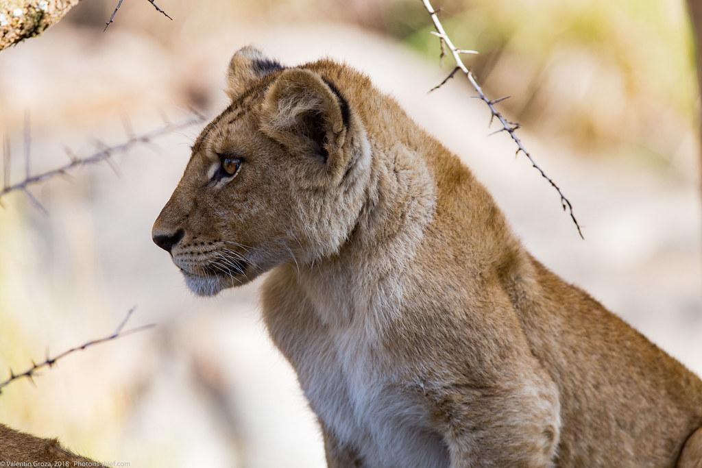 Leoaica cu pui_septembrie18_Serengeti_16