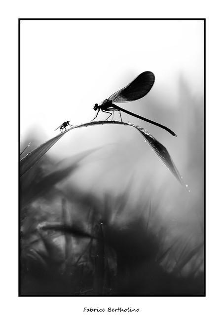 La mouche et le caloptéryx ..........