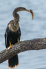 Anhinga with a speared fish by Ron Winkler nature