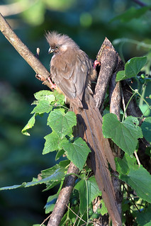 Speckled mousebird | by dmmaus